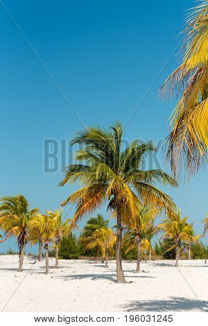 White Sand And Palm Trees On The Beach Playa Sirena, Cayo Largo, Cuba. Copy Space For Text. Vertical