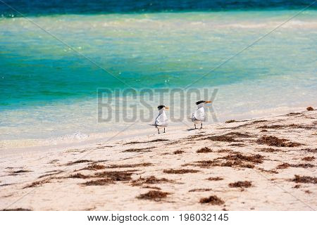 Two Seagulls On The Beach Playa Paradise Of The Island Of Cayo Largo, Cuba. Copy Space For Text.