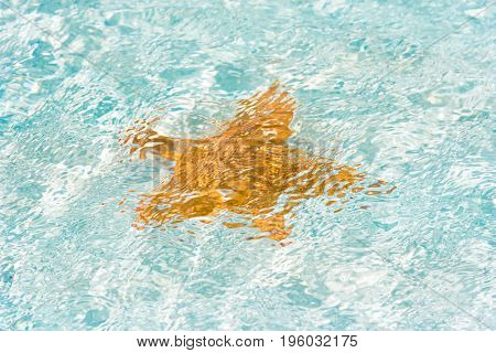 Orange Starfish Near The Shore In A Turquoise Water Of The Island Of Cayo Largo, Cuba. Ñlose-up.