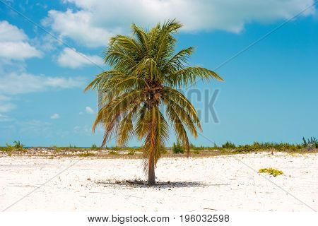 Lonely Palm Tree On The Beach Of Playa Sirena, Cayo Largo, Cuba. Copy Space For Text.