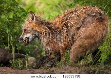Red Fox Vixen (Vulpes vulpes) Walks Behind Kit- captive animal