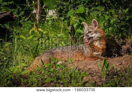 Grey Fox Vixen (Urocyon cinereoargenteus) Lying Down Head Up - captive animal