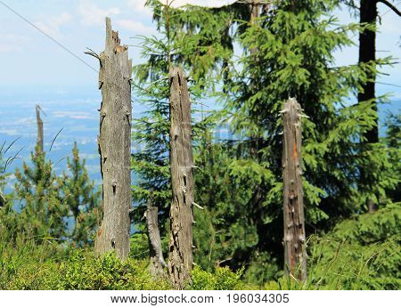 remnants of trunks of dead trees among the green ones in the forest on Smrk Hill, Beskydy mountains, Czech Republic