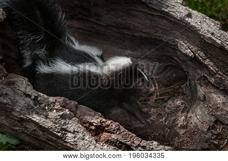 Striped Skunk Kit (Mephitis mephitis) Stretches Out in Log - captive animals