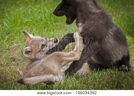 Grey Wolf (Canis lupus) Pup Bites Paw of Sibling - captive animals