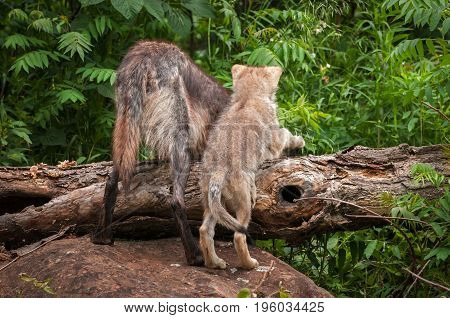Grey Wolf (Canis lupus) and Pup Look Over Log - captive animals