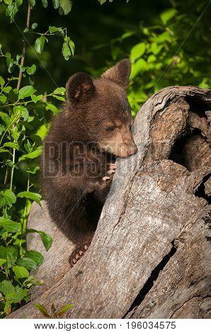 Black Bear Cub (Ursus americanus) Nose Against Log - captive animal