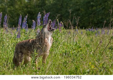 Coyote (Canis latrans) Stands Howling in Lupin Patch - captive animal