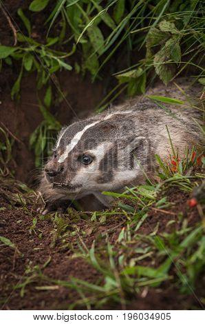 North American Badger (Taxidea taxus) Snarls Close Up - captive animal