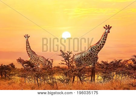 Group of giraffes on sunset background. Serengeti national park.