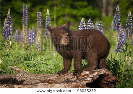 Black Bear Cub (Ursus americanus) Stands On Log Ears Back - captive animal