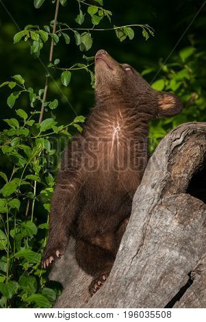 Black Bear Cub (Ursus americanus) Looks Way Up - captive animal