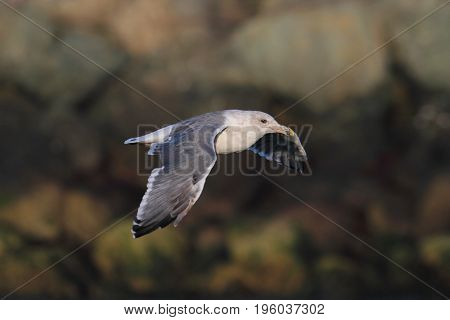 Western Gull (Larus occidentalis) in flight by the Pacific Ocean