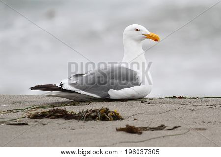Western Gull (Larus occidentalis) roosting by the Pacific Ocean