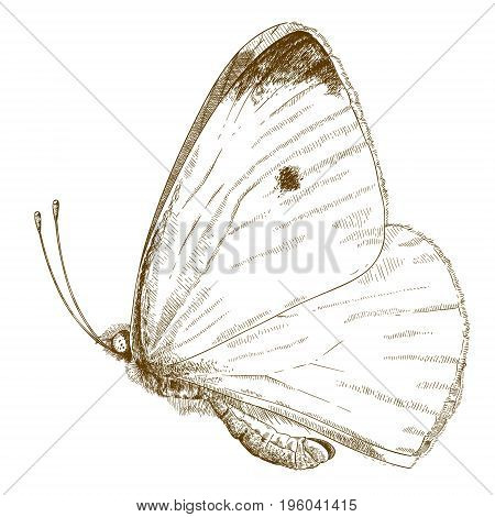 Vector antique engraving illustration of small cabbage white butterfly isolated on white background