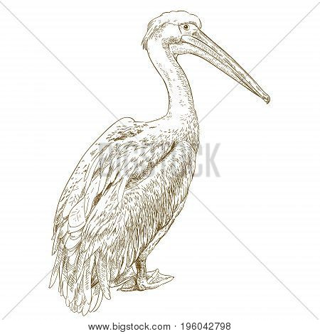 Vector antique engraving illustration of big pelican isolated on white background