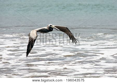 Pelican flying over the surf line. Costa Rica
