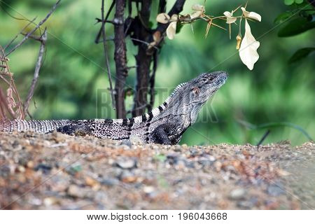 Lizard monitor lizard in the tropical jungles of Costa Rica