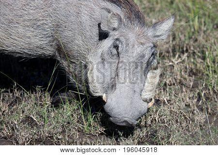 Warthog (Common Warthog) feeding. Delta Okavango Botswana;