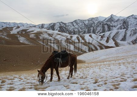 Kyrgyz horse grazing in winter in the mountains of Tien Shan