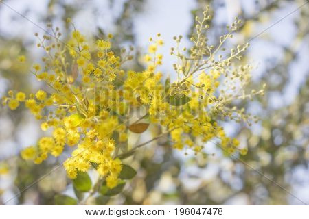 Morning in Australia bush with sunlight on australian golden yellow wattle tree blossoms