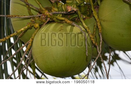 horizontal image of four coconuts on tree