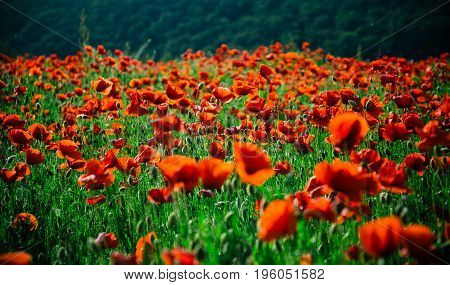 flower field. red poppy seed on green stem summer and spring drug and love intoxication opium