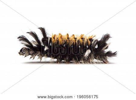 Milkweed Tussock Moth Caterpillar (Euchaetes egle) on a white background