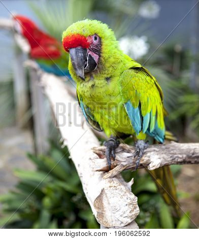 A large parrot is a green macaw