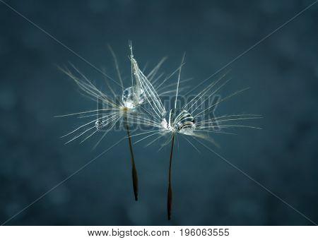 Dew drops on a dandelion seed macro.