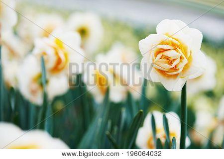 narcissus or daffodil flower on flower farm