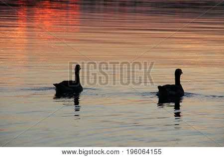 Wild ducks floating on the lake at sunset