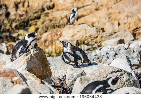 Boulders Penguin Colony in the Table Mountain National Park, South Africa. African black-white penguins. Huge boulders on the beach of the Atlantic Ocean. The concept of  ecotourism