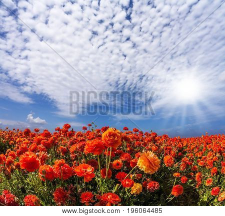 The southern sun illuminates the fields of red garden buttercups. Wind drives the cirrus clouds. Concept of rural and recreational tourism