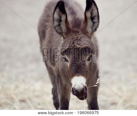 Young donkey mule eating, close up