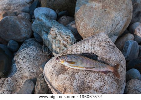 Just caught a grayling on the stones