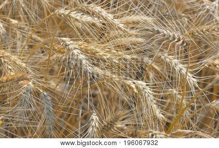 Details of ripe wheat field