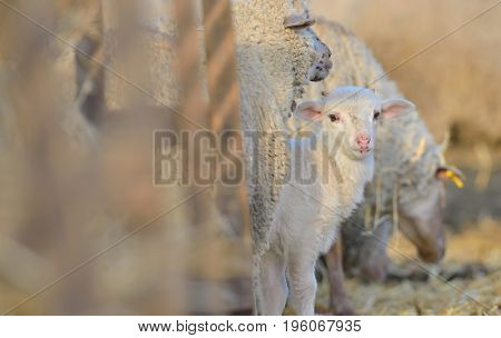 Mother sheep with  lamb on the farm