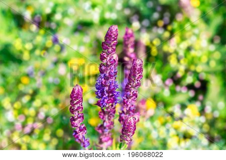 Blossoming Sage - bright colorful summer blurred background with bokeh. Ecology, gardening or herbal treatment concept