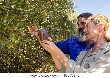 Couple examining olives in farm on a sunny day