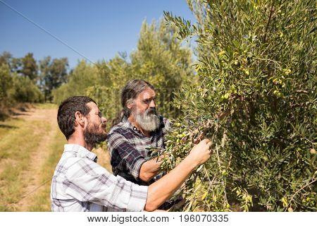 Friends examining olive on plant in farm