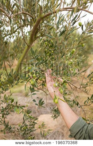 Man observing olives on plant in farm