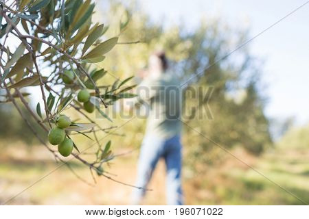 Close-up of ripe olive on tree in farmland