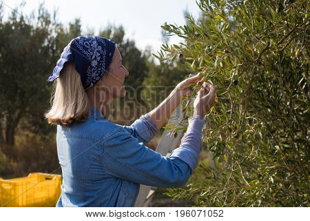 Woman harvesting olives from tree in farm