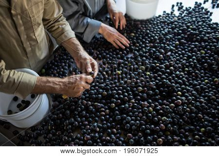 Mid section of workers checking a harvested olives in factory