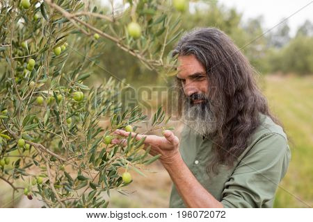 Farmer observing olive on plant in farm