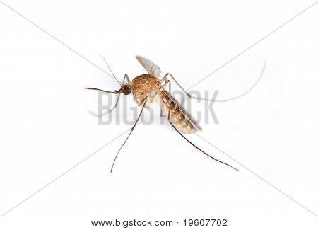 Mosquito High Detail Macro