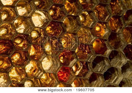 Honey Chambers Wasp Hive