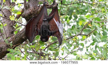 animals kalong vampire national park east java indonesia