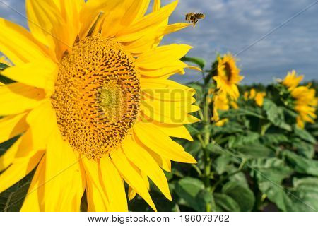 Bee working on Sunflower, blue sky and sunny weather